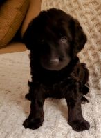 Double Doodle Puppies for sale in Scottsdale, AZ, USA. price: NA