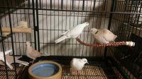 Dove Birds for sale in Mound, MN 55364, USA. price: NA