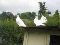 Dove Birds for sale in Dallas, TX, USA. price: NA