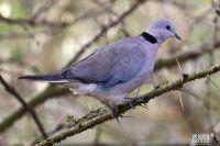 Dove Birds for sale in San Diego, CA, USA. price: NA