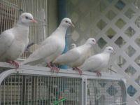 Dove Birds for sale in San Antonio, TX, USA. price: NA