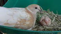 Dove Birds for sale in Orlando, FL, USA. price: NA