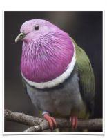 Dove Birds for sale in Vancouver, WA, USA. price: NA