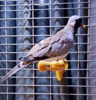 Dove Birds for sale in Grand Rapids, MI, USA. price: NA