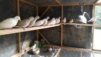 Dove Birds Photos