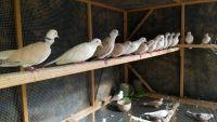 Dove Birds for sale in Flat Rock, AL 35966, USA. price: NA