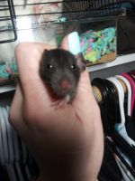 Dumbo Ear Rat Rodents for sale in San Jose, CA, USA. price: NA