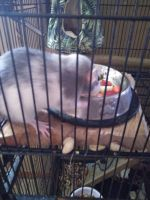 Dumbo Ear Rat Rodents for sale in Wadsworth, OH 44281, USA. price: NA