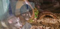 Dumbo Ear Rat Rodents for sale in Alvarado, TX 76009, USA. price: NA