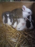 Dutch rabbit Rabbits for sale in Clarksville, TN, USA. price: NA