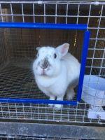 Dutch rabbit Rabbits Photos