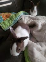 Dutch rabbit Rabbits for sale in Lebanon, PA, USA. price: NA