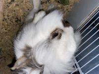 Dutch rabbit Rabbits for sale in Provo, UT, USA. price: NA