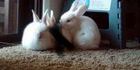 Dutch rabbit Rabbits for sale in Glendale, AZ, USA. price: NA