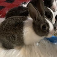 Dutch rabbit Rabbits for sale in Englewood, OH, USA. price: NA