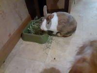 Dutch rabbit Rabbits for sale in Simpsonville, SC, USA. price: NA