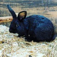 Dutch rabbit Rabbits for sale in Matawan, NJ 07747, USA. price: NA