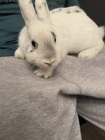 Dutch rabbit Rabbits for sale in Ellenwood, GA, USA. price: NA