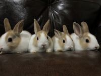 Dutch rabbit Rabbits for sale in Elgin, IL, USA. price: NA