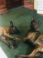 Dutch Shepherd Puppies Photos
