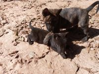 Dutch Shepherd Puppies for sale in Lawrenceville, GA, USA. price: NA