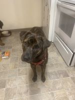 Dutch Shepherd Puppies for sale in 24620 Russell Rd, Kent, WA 98032, USA. price: NA