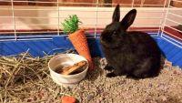 Dwarf Rabbit Rabbits for sale in Cincinnati, OH, USA. price: NA