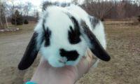 Dwarf Rabbit Rabbits for sale in Lansing, MI, USA. price: NA