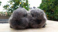 Dwarf Rabbit Rabbits for sale in Anaheim, CA, USA. price: NA