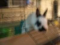 Dwarf Rabbit Rabbits for sale in Shields, Thomas Township, MI 48609, USA. price: NA
