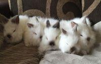 Dwarf Rabbit Rabbits for sale in New York, NY, USA. price: NA