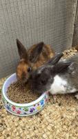Dwarf Rabbit Rabbits for sale in Pembroke Pines, FL, USA. price: NA
