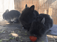 Dwarf Rabbit Rabbits for sale in Panorama City, Los Angeles, CA, USA. price: NA