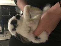Dwarf Rabbit Rabbits for sale in Levittown, PA 19056, USA. price: NA