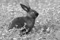 Dwarf Rabbit Rabbits for sale in Andalusia, AL, USA. price: NA