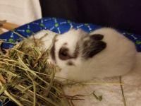 Dwarf Rabbit Rabbits for sale in Palm Springs, CA, USA. price: NA