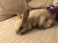 Dwarf Rabbit Rabbits for sale in Chino Hills, CA, USA. price: NA