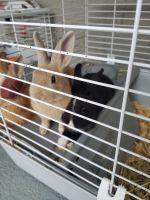 Dwarf Rabbit Rabbits for sale in Palm Coast, FL, USA. price: NA
