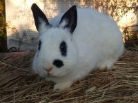 Dwarf Rabbit Rabbits for sale in Fremont, MI, USA. price: NA