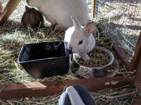 Dwarf Rabbit Rabbits for sale in Hesperia, CA, USA. price: NA