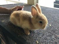 Dwarf Rabbit Rabbits for sale in Loxahatchee, FL 33470, USA. price: NA
