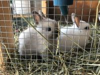 Dwarf Rabbit Rabbits for sale in Baldwin Park, CA, USA. price: NA
