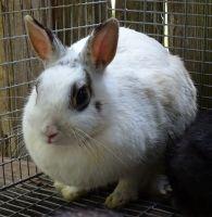 Dwarf Rabbit Rabbits for sale in Orlando, FL, USA. price: NA
