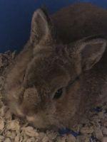 Dwarf Rabbit Rabbits for sale in Algonquin, IL, USA. price: NA