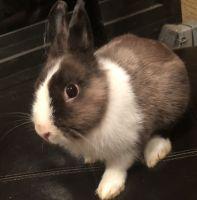 Dwarf Rabbit Rabbits for sale in Boynton Beach, FL, USA. price: NA