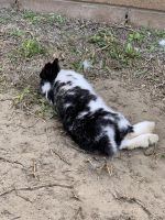 Dwarf Rabbit Rabbits for sale in Bellflower, CA, USA. price: NA