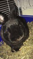 Dwarf Rabbit Rabbits for sale in Monroe, NC, USA. price: NA