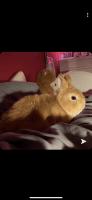 Dwarf Rabbit Rabbits for sale in Fort Wayne, IN, USA. price: NA
