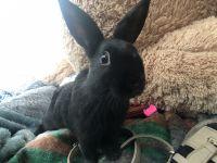Dwarf Rabbit Rabbits for sale in Riverside, CA, USA. price: NA