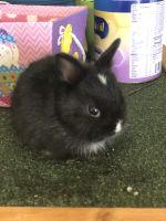 Dwarf Rabbit Rabbits for sale in Newark, NJ 07105, USA. price: NA
